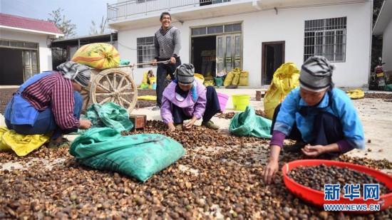 (经济)(1)广西凌云:低产油茶改造助农脱贫