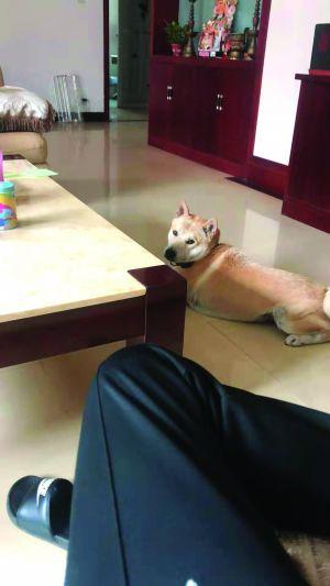 扬州市民家8000元柴犬遭毒杀项圈定位器破案