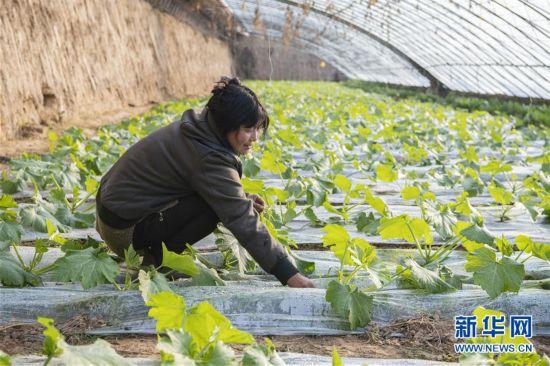 山西原平:設施農業富農家