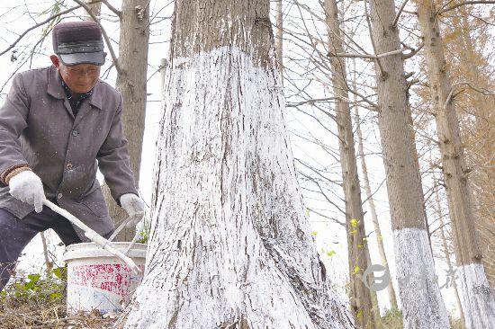 盐城大丰为树木刷白防护 确保安全越冬