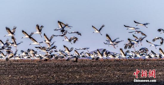 中國北疆興凱湖流域迎來歷年最大東方白鸛遷徙種群
