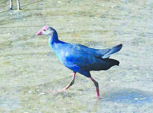 """廈門灣南岸首現""""最美水鳥"""" 這是它第一次在漳州被拍到"""