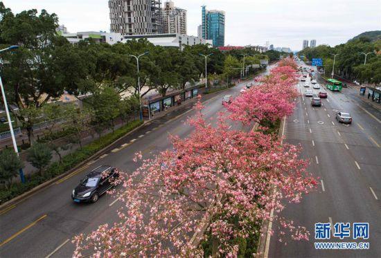 廣西柳州:美麗異木棉花競相盛開
