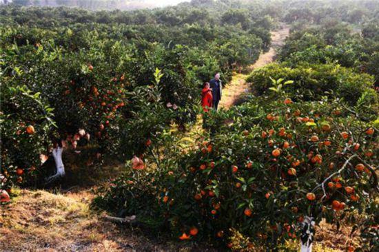 重庆江津柑橘丰收挂满枝采摘游玩