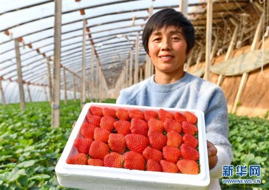 (经济)(3)河北乐亭:滦河岸边草莓飘香