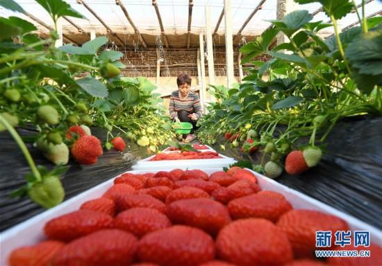 河北乐亭:滦河岸边草莓飘香