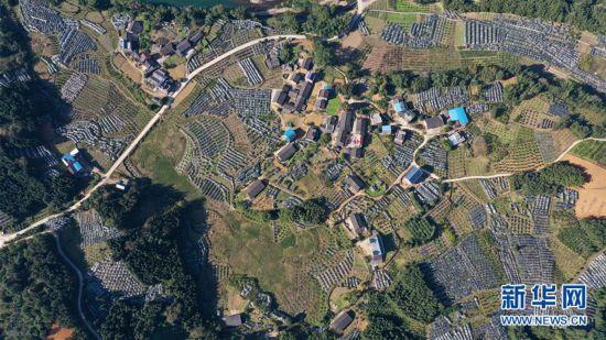 """(脱贫攻坚)(1)复苏的""""空巢村""""――一个滇桂黔石漠化片区县的产业脱贫路"""