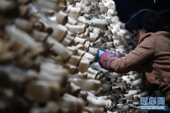 (经济)(1)河北平泉:小蘑菇铺就致富路