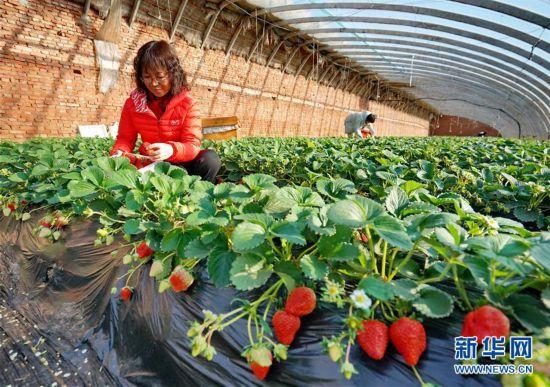 """(经济)(1)河北抚宁:小草莓成农民冬季增收""""甜心果"""""""