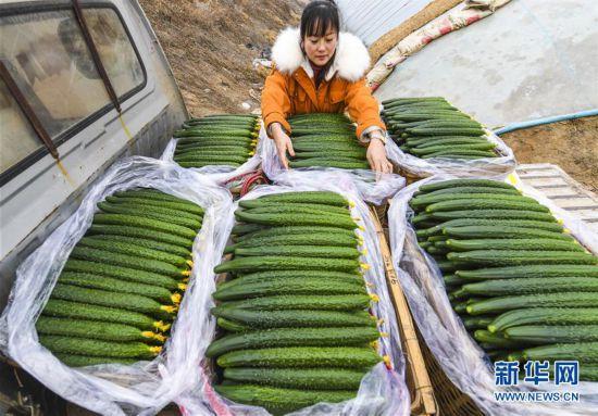 (经济)(1)河北永清:暖棚订单黄瓜助农增收