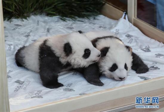 """(国际)(1)在德出生大熊猫双胞胎命名为""""梦想""""""""梦圆"""""""