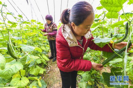 (经济)(2)河北永清:暖棚订单黄瓜助农增收