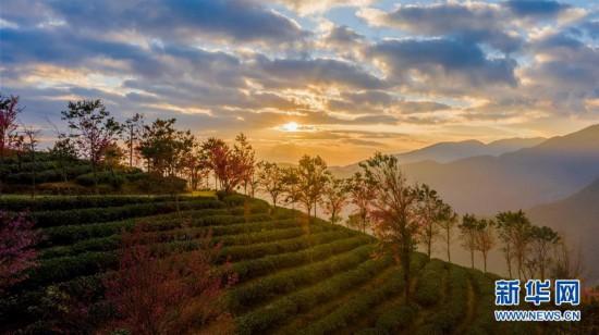 (美丽中国)(2)无量山樱花谷:茶园泛绿 樱花似霞