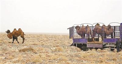 敦煌放归野骆驼佩戴GPS项圈