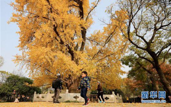 (环境)(2)上海:千年银杏盛装迎冬