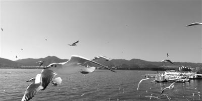 """曾绝迹的彩鹮到访 近百种野鸟回归  科技治污,它们为滇池的变化""""点赞"""