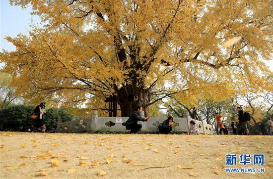 (环境)(3)上海:千年银杏盛装迎冬