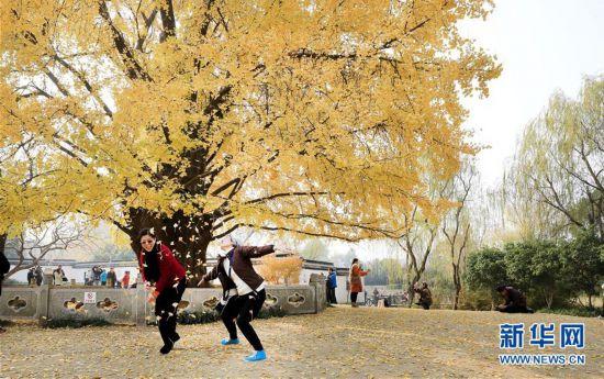 (环境)(4)上海:千年银杏盛装迎冬