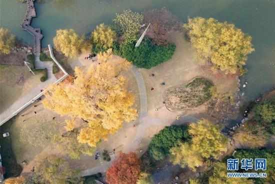 (环境)(1)上海:千年银杏盛装迎冬