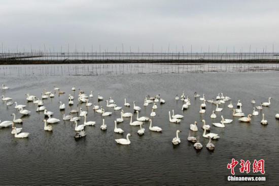 越冬候鸟如约飞抵淮安盱眙七里湖
