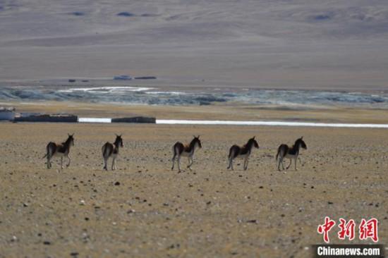 西藏羌塘草原见闻:偶遇野狼藏羚羊、藏野驴等成群