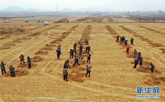 河北滦州:冬日植桑忙