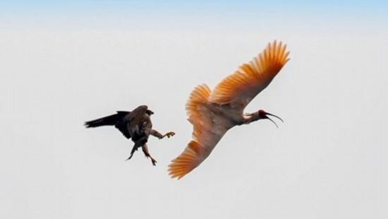 陝西省洋県を流れる湑水河の上空で繰り広げられた「国宝どうしの攻防戦」(撮影・鄒義超)。
