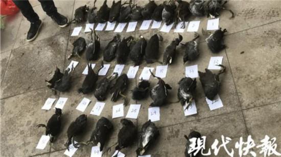 扬州两男子为了冬季滋补毒死36只野鸟被抓
