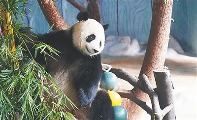 """海口大熊猫""""贡贡""""获得""""中国最"""
