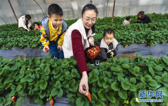 河北香河:冬季草莓诱宾客
