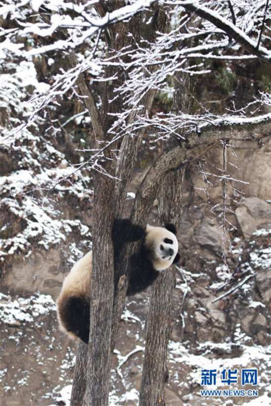 #(环境)(3)瑞雪降 熊猫乐