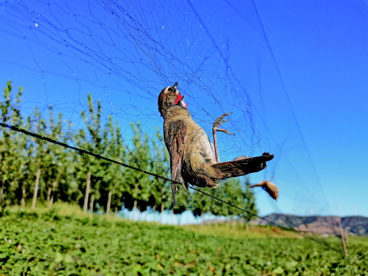 候鳥之殤:數千米鳥網驚現白洋澱非法捕鳥緣何屢禁不止