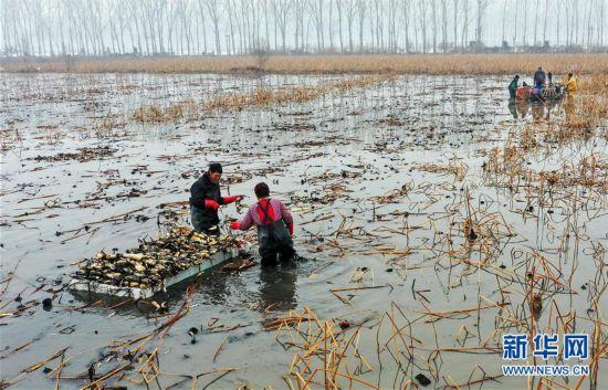 (经济)(4)河北磁县:莲藕经济助力乡村振兴