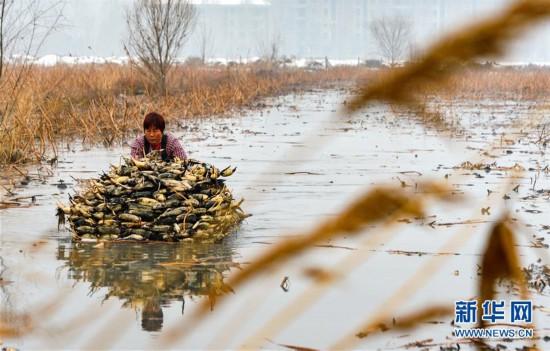 (经济)(3)河北磁县:莲藕经济助力乡村振兴