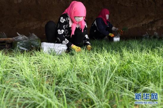(新春走基层)(1)温室小沙葱 致富大产业