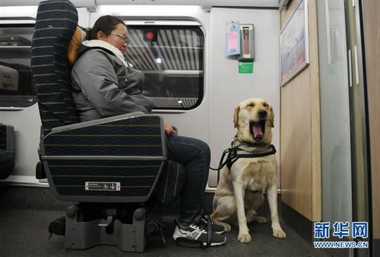 (关注春运)(6)导盲犬乘高铁体验春运
