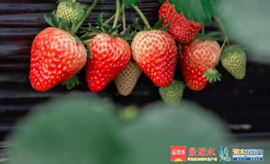 2019南京溧水生产草莓超3万吨 实现收入近6亿