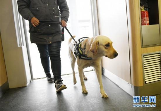 (关注春运)(3)导盲犬乘高铁体验春运