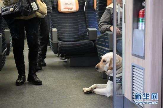 (关注春运)(5)导盲犬乘高铁体验春运
