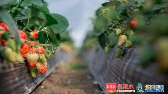 溧水草莓品牌化发展之路 (2).JPG