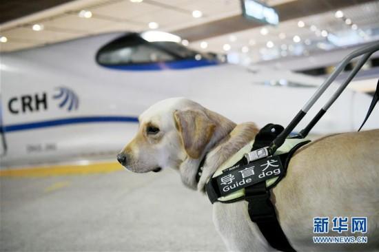 (关注春运)(2)导盲犬乘高铁体验春运