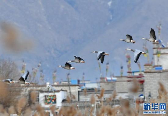 (新华视界)(6)西藏拉萨:百鸟翩跹聚湿地