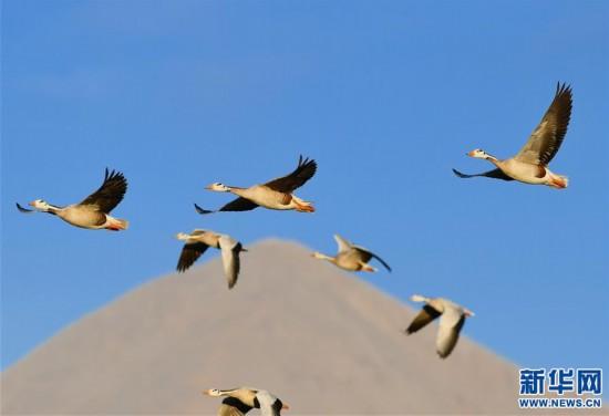(新华视界)(5)西藏拉萨:百鸟翩跹聚湿地