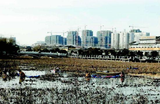 沛縣技術性間採蓮藕 今夏漢城荷塘會更美