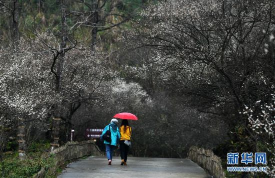(环境)(6)贵州荔波:赏梅好时节
