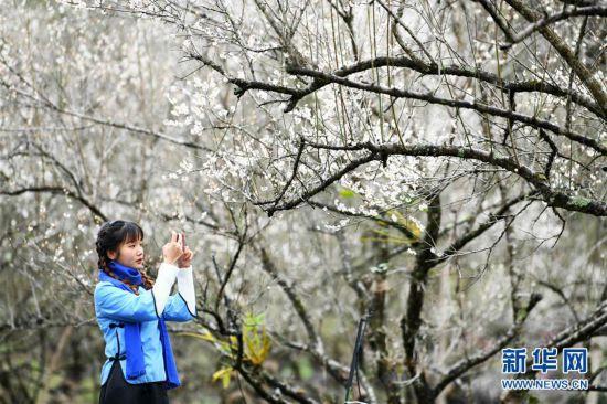 (环境)(1)贵州荔波:赏梅好时节