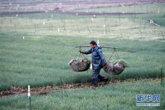 广西柳江:收获香葱供应市场