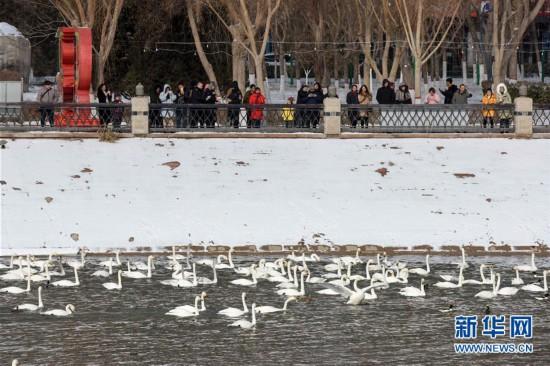(环境)(1)新疆库尔勒:天鹅的冬日之约