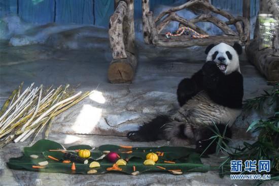 """(社会)(1)海口:大熊猫吃""""饺子""""迎春节"""