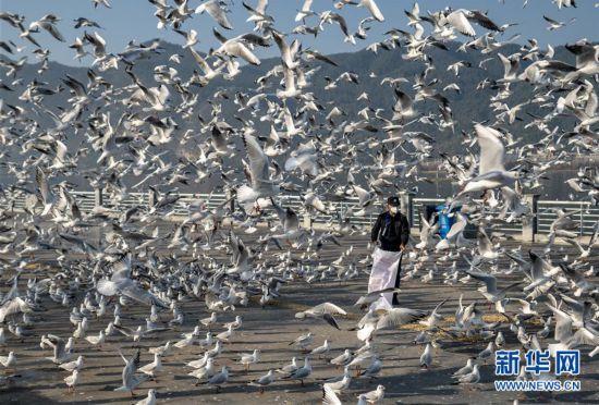 (聚焦疫情防控)(3)疫情期间,昆明红嘴鸥有专人投喂
